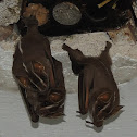Lined Bat
