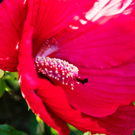 Big Red Flower by Scott Thomas - Flowers Flowers in the Wild ( red, macro, nature, pistol, flower )