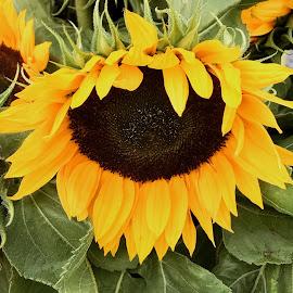 Sun Flower by Rosemary Gamburg - Flowers Single Flower ( #yellowflower #flower #yellow #sunflower )