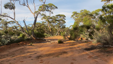 Photo: The old telegraph track with lots of fallen trees!