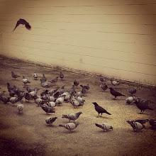 Photo: Pigeons eat some grains outside a building on 119 Street in Maple Ridge #intercer #bird #birds #fly #eat #hungry #grain #seeds #mapleridge #britishcolumbia #canada #wings - via Instagram, http://instagr.am/p/TM0WGBpfn5/