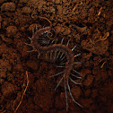 Tanzanian Blue Ring Centipede