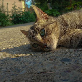 Eyes by Antonio Knezevic - Animals - Cats Portraits ( chill, cat, sunny, eyes, cute, lightroom )