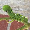 Carolina Sphinx Moth (Tobacco Hornworm)