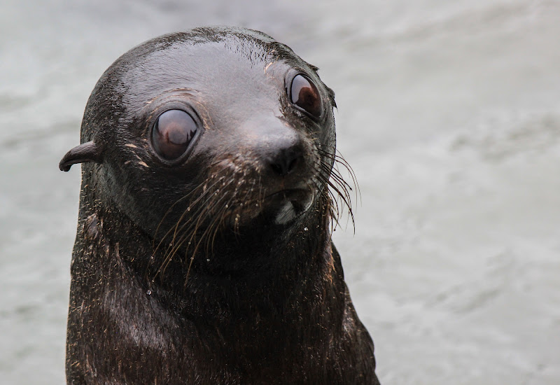 Baby Seal di Manuel G. Ph.