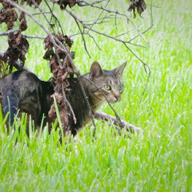 Pickle on the Prowl by Kirk Barnes - Animals - Cats Portraits ( outside, cat, feral tabby, hunting, portrait )