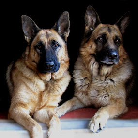 My Protectors by Nancy Tubb - Animals - Dogs Portraits ( canine, dogs, protector, guard dogs, german shepherd,  )