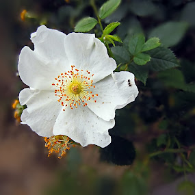 The ant by Fereshteh Molavi - Flowers Flowers in the Wild ( orange, white, flower )