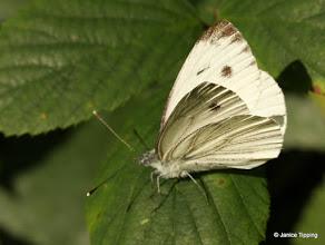 Photo: Large White