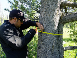 Photo: Dash measuring the diameter of a whitebark pine