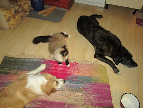 Photo: Pikkuhiljaa alkaa sujua kissojenkin kanssa.