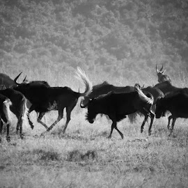 Swing those tails! #swartwildebees #blackwildebeest #gnu #running #glengarry #cathcart #easterncape #southafrica #menseselense #canon #canonsx50hs #blackandwhite #bw #nature #veld #bush by Deon Strydom - Black & White Animals