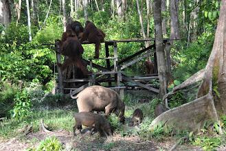 Photo: CAMP LEAKEY Orangutan sopra e maiali selvatici sotto