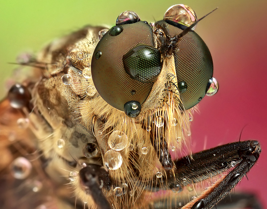 Robber Fly by Noi Marquez - Animals Insects & Spiders ( macro, insect )