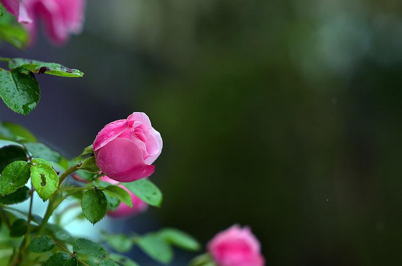 rosa di nicoletta lindor