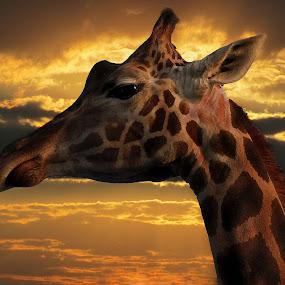 Giraffe          by Milan Milosevic ヅ - Animals Other ( wild, animals, giraffe, sunset, safari, sun )