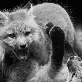 by Steven Liffmann - Black & White Animals ( carnivores, vulpes vulpes, red fox, north american mammal )