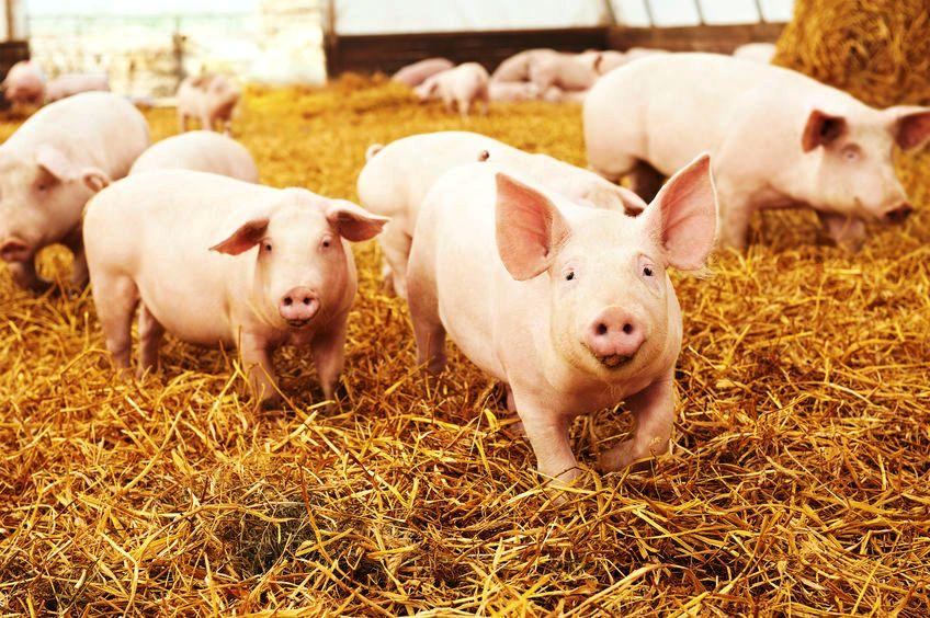 Hepatitis E in varkvleisprodukte vonke vir verbruikers in Kaapstad - SowetanLIVE Sunday World