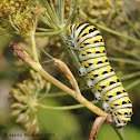 Black swallowtail butterfly (larva)