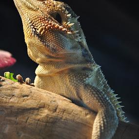chilling by Savannah Eubanks - Animals Reptiles (  )