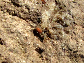 Photo: After three years for searching we finally found Araeoschizus, 5 of them, under THE ROCK. (Park has a MUCH better picture.)