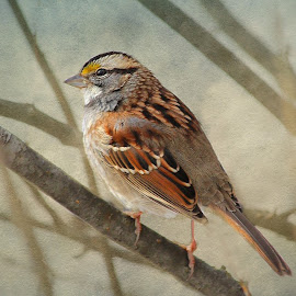White Throated Sparrow by Mary Waters - Animals Birds ( digital photography, nature, bird, digital art )