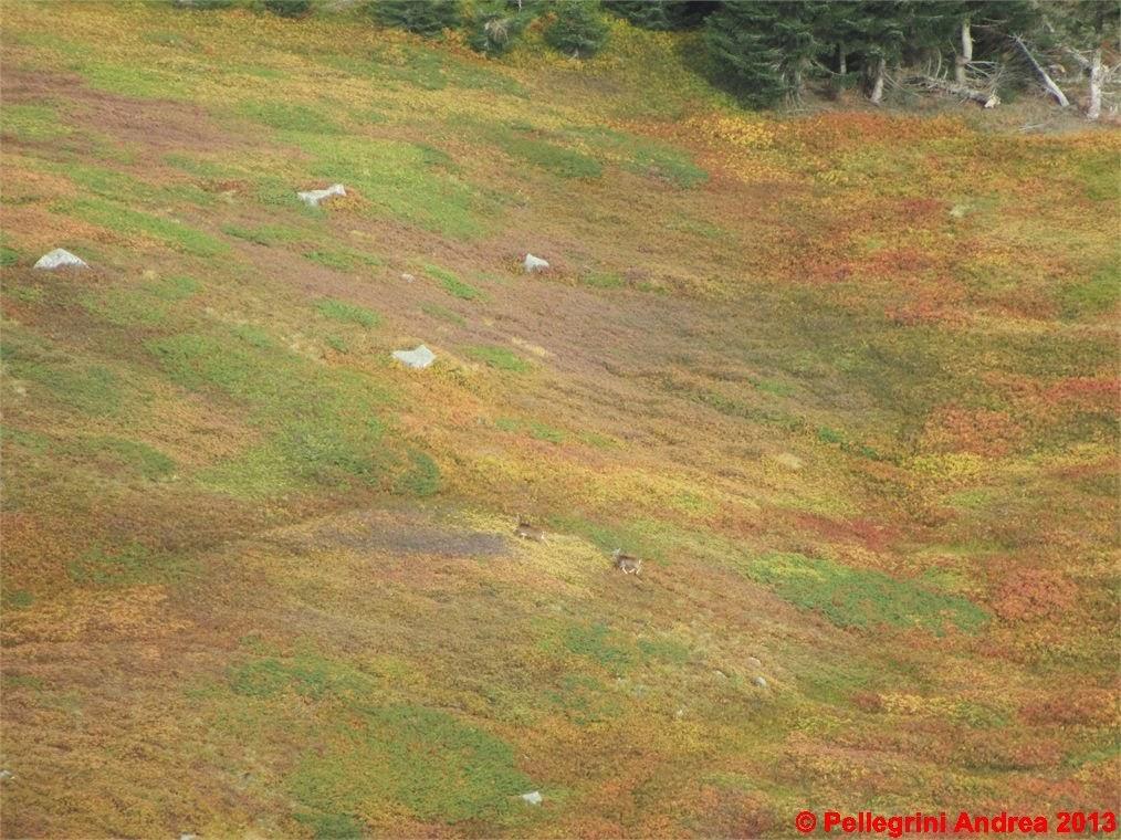 Photo: IMG_4112 mufloni femmina in fuga