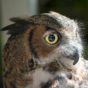 Horned Owl by Jeri Curley - Animals Birds ( bird, bird of prey, owl, bird photo, great horned owl,  )