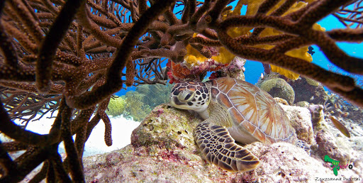 A sea turtle in the reef in Bonaire in the Southern Caribbean.