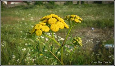 Photo: Vetrice (Tanacetum vulgare) - de pe Calea Victoriei, Mr.1 - 2016.08.09