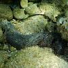 White Spot Cucumber