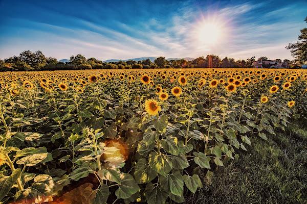 Sunflowers camp di Matteo90