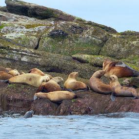 Seals by Charlene Cadman - Animals Other Mammals