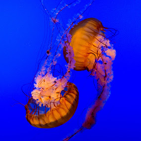 Jelly Fish Dance by Eric Wellman - Animals Sea Creatures ( blue, jellyfish,  )