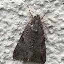 Merry Melipotis Moth