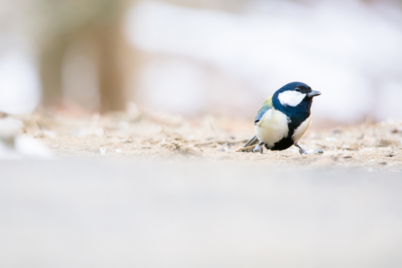 Photo: 目を凝らして Looking for something.  探し物 目を凝らして あっちかなこっちかな それはきっとすぐ近くに  Japanese Tit. (シジュウカラ) #cooljapan #365cooljapanmay  #birdphotography #birds #kawaii  #sigma #日本の写真文化を海外へ  Nikon D7100 SIGMA 150-600mm F5-6.3 DG OS HSM Sports [ Day266, February 2nd ] (2枚追加:Added 2 photo)  小鳥の詩朗読 http://youtu.be/eyaiycWC3mM?list=PL2YtHGm0-R3qVsaqvQe9OYdJFCkI98wzF