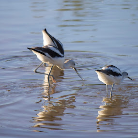 Black-necked Stilt by David Shearer - Animals Birds ( red legs, water fowl, black-necked stilt, duck, birds )