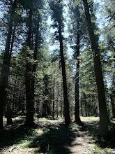 Photo: Douglas fir forest