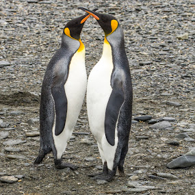 Crossing swords by Mark Molinari - Animals Other ( #penguin, #nature, #antartica, #birds, #2by2,  )