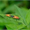 Dysdercus cingulatus 離斑棉紅蝽