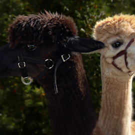 Llama Pair On The Farm by Robin Amaral - Uncategorized All Uncategorized ( camel family, llama, animal husbandry, bridle, animal fur, domesticated, farm animal, camelid,  )