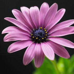 Close to You by Gillian James - Flowers Single Flower ( osteospermum, purple, african daisy, close up, flower )