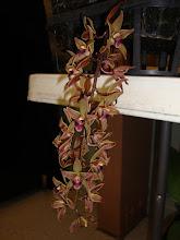 Photo: Cymbidium devonianum - Lan Kiếm Gấm Ngũ Hổ