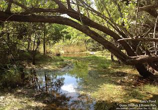 Photo: #7 Kary's Pond, Woodland Trail, Queen Elizabeth II Botanic Park. Photo: Ann Stafford, Grand Cayman, Dec. 31, 2015.