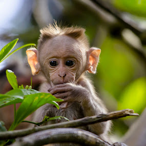 New Life-2 by Vijayanand Kandasamy - Animals Other Mammals ( baby monkey, just born, just born monkey, baby, monkey, animal,  )