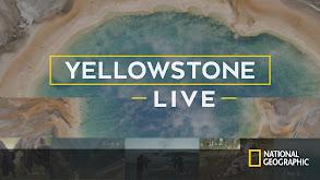 Yellowstone Live thumbnail