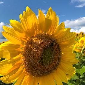 Sunny Sunflower by Donna Silva - Flowers Single Flower