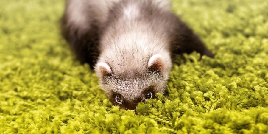 Polecat by Andrei Kisliak - Animals Other ( look, hide, ambush, pet, hunting, polecat, eyes )