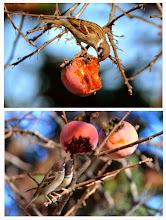 Photo: 撮影者:村山和夫 スズメ タイトル:スズメも柿を食べます 観察年月日:2014年12月2日 羽数:2羽 場所:高尾駅近くの道路沿い 区分:八王子2G メッシュ:行動 コメント:穀類や虫を食べるスズメだが、冬季は柿も食べる。オナガやムクドリに混じり熱心に柿の実を啄ばんでいた。