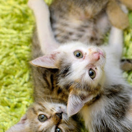 by Rudyanto A. Wibisono - Animals - Cats Playing ( #cat #kittens )
